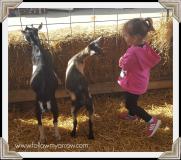 taylor-goats2